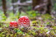 Amanite de mouche de deux rouges dans la forêt Photos libres de droits