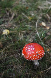 Amanite muscaria Stockbild