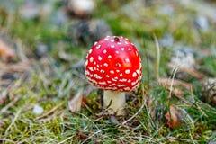 Amanite sur l'herbe Photo libre de droits