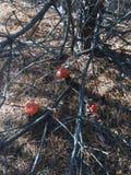 Amanites dans la forêt Image stock