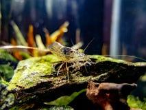 Amano虾关闭在一被种植的淡水纳诺的一个岩石晒黑 库存照片