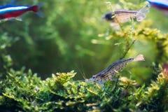 Amano虾或日本虾游泳在水中 免版税库存图片