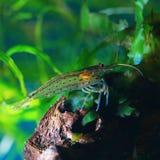 Amano shrimp. In freshwater aquarium stock images