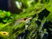 Amano shrimp arches its back after shedding its shell. There is a yellow dwarf shrimp in the foreground stock images