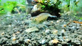 Amano shrimp. Breed stock image