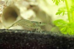 Amano shrimp, Caridina multidentata. An Amano shrimp, Caridina multidentata, in an aquarium with a white rock and water plants stock image