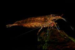 Amano Shrimp incinto Fotografie Stock
