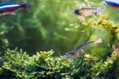 Amano Shrimp Or Japanese Shrimp Swimming In Water.  royalty free stock images