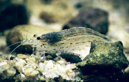Amano shrimp. Named after the famous Japanese aquarist Takashi Amano stock photos