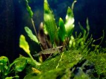 Amano shrimp in tropical nano freshwater tank. Freshwater shrimp in a clean nano tank with plants around royalty free stock image