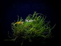 Amano and yellow shrimp hanging out on a moss ball. Beautiful shrimp doing their good work cleaning an aquarium stock images