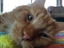 Amant fatigué de relaxation de chat magnifique Photo stock