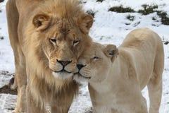 Amante do leão Fotos de Stock Royalty Free