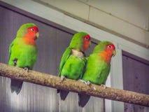 Amantes coloreados hermosos del loro de los pares Fotos de archivo