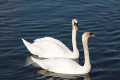 Amantes da cisne Foto de Stock Royalty Free