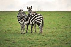 Amantes da zebra Fotografia de Stock