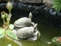 Amantes de la tortuga Foto de archivo libre de regalías