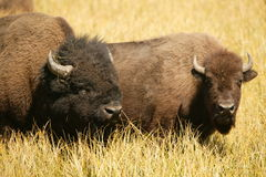 Amantes del bisonte Foto de archivo libre de regalías