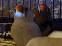 Amantes del pájaro Imagen de archivo