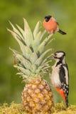 Amantes do fruto Fotos de Stock Royalty Free