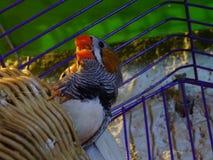 Amantes do pássaro Fotografia de Stock Royalty Free