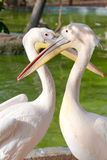 Amantes do pelicano Fotografia de Stock Royalty Free