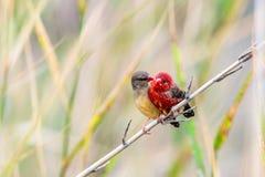 2 amants d'oiseau Images libres de droits