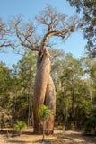 Amants de baobab - Amoureux Photographie stock libre de droits