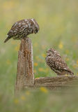 Amants de petit hibou Photo libre de droits