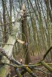 łamany lasowy drzewo Zdjęcie Stock