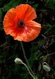 Amapola Fotografía de archivo libre de regalías