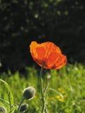Amapola Imagen de archivo libre de regalías