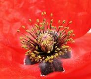 Amapola Foto de archivo libre de regalías