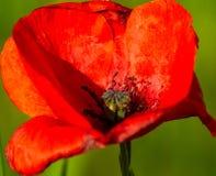 Amapola aislada macra en la floración imágenes de archivo libres de regalías
