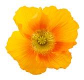 Amapola (alpinum del Papaver) Imágenes de archivo libres de regalías