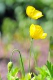 Amapola amarilla Foto de archivo libre de regalías