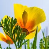 Amapola amarilla Imágenes de archivo libres de regalías