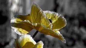 Amapola amarilla en un fondo negro El insecto agita alrededor de la flor Poniendo en contraste, color amarillo en un fondo negro almacen de metraje de vídeo