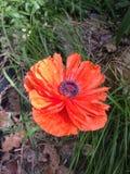 Amapola anaranjada Fotografía de archivo
