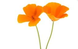 Amapola anaranjada Foto de archivo