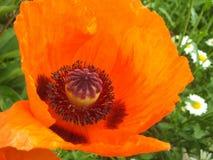 Amapola anaranjada grande imagen de archivo libre de regalías