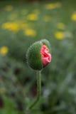 Amapola, antes de la floración foto de archivo libre de regalías