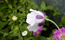 Amapola anual púrpura Fotografía de archivo
