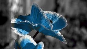 Amapola azul en un fondo negro El insecto agita alrededor de la flor Poniendo en contraste, color amarillo en un fondo negro almacen de metraje de vídeo