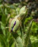 Amapola azul Himalayan en el parque imágenes de archivo libres de regalías