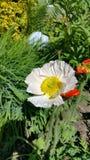 Amapola bicolor Foto de archivo