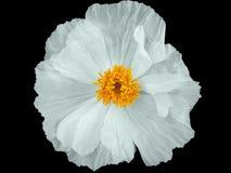 Amapola blanca imagen de archivo libre de regalías