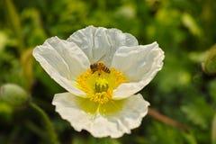 Amapola blanca y abeja Fotografía de archivo