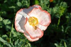 Amapola blanca y avispa Imagenes de archivo