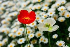 Amapola blanca y roja en un campo de las margaritas blancas imagenes de archivo